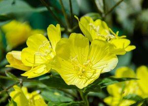 月見草油的7種功效及副作用(第1種常被用到)