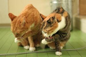貓咪舔毛(理毛)的九個原因-過度舔毛怎麼辦