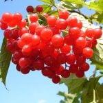 蔓越莓的5種功效與副作用(第1點最多人想問)