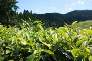 綠茶(兒茶素)的功效及副作用(第1種令人期待)