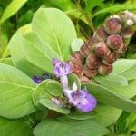 聖潔莓的功效及副作用(第2種歷史悠久)