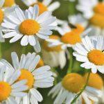 洋甘菊的5種功效及副作用(第1種常被討論)