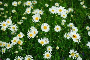 小白菊的5種功效與副作用(第1種最被看好)