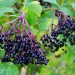 接骨木(莓果)的5種功效及副作用(第1種常被提到)