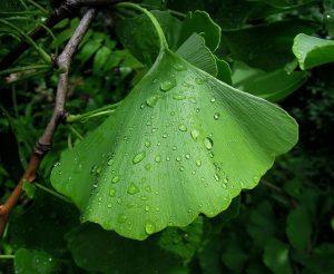 銀杏葉的6種醫學功效(第1種最熱門)