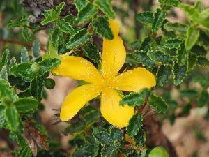 聖約翰草的4種功效及副作用(第1種最多人詢問)