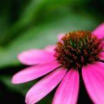 紫錐花的3種功效及副作用(6點使用禁忌要小心)