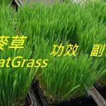 小麥草的4種功效及副作用(3點使用禁忌要小心)