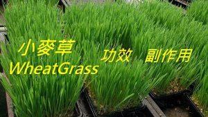 wheatgrass-benefits-side-effects