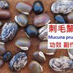刺毛黧豆的4種功效及副作用(14點使用禁忌要小心)